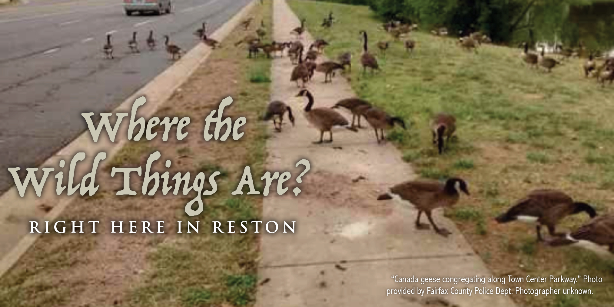 """Where the Wild Things Are? Right Here in Reston. """"Canada geese congregating along Town Center Parkway."""" Photo provided by FairfaxCounty Police Dept. Photographer unknown."""