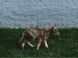 Coyote pup near Fairfax County business area. Photo provided by Katherine Edwards.
