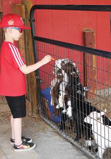 roers_fedding_goats